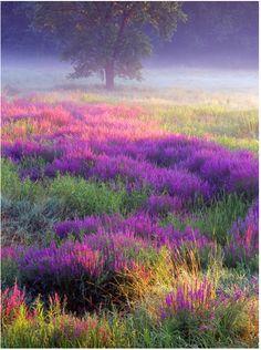 Purple Loosestrife, Troy Meadows, New Jersey.