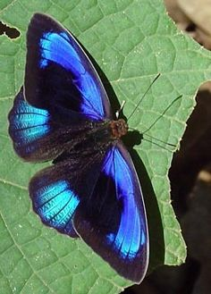 Eurota Purplewing (Eunica eurota)