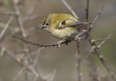 Follow the link to hear the Goldcrest sing