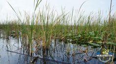 Lake Istokpoga Fishing - Thick vegetation