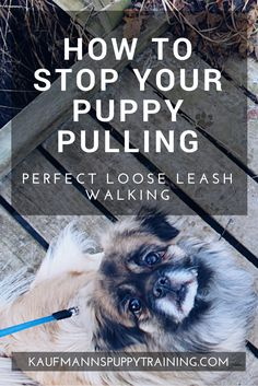 How to Stop Your Puppy Pulling – Learn how to train your dog to walk nicely on a loose leash so you don't get dragged across town on dog walks. Read more about dog training at kaufmannspuppytraining.com @KaufmannsPuppy