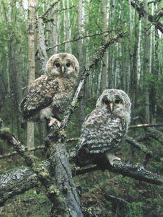 Ural Owl (Strix uralensis) by Jevgeni Ekimov