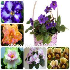 100ピース24色バイオレット種子、アフリカバイオレット種子、ガーデン鉢植え植物バイオレット花多年生ハーブmatthiola incana種子