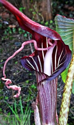 Arisaema speciosum var. magnificum - hardy in the UK in a sheltered position with good drainage and a winter mulch...