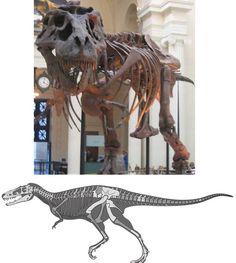 Tyrannosaurus (haut) et Alioramus. Par Rich Anderson