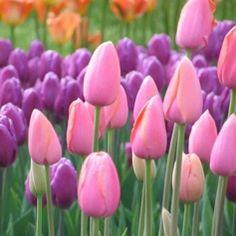 Hochzeitsblumen: Tulpen