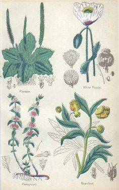 Pennyroyal, Bearsfoot, White Poppy, Plantain Medicinal Plants