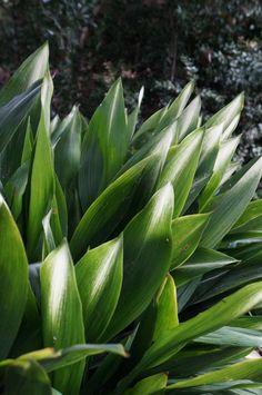 Aspidistra elatior Part shade to full shade Tropical Landscaping, Tropical Garden, Garden Landscaping, Shade Tolerant Plants, Hoya Plants, Shade Garden, Garden Plants, Indoor Plants, Plant Design