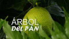 Características del Árbol Del Pan - San Andrés, Colombia - TvAgro por Ju...