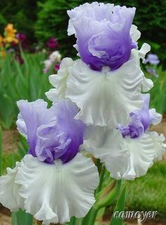 These Iris blooms remind me of being a child and my Dad would cut some of these for me to take inside to my mom. So pretty!