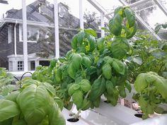 Urban Hydr-O-Farmers Nutrient Film Technique (NFT) grown basil...