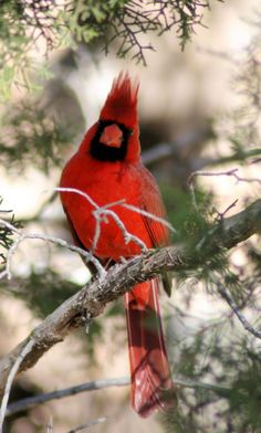Winter Cardinal ღ Psalm 119:97 Oh, how I love your law! I meditate on it all day long.