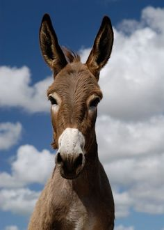 """This article aims to answer the question """"what do donkeys eat"""". Why is it important that you give your donkey the right kind of food? Donkey Donkey, Cute Donkey, Mini Donkey, Animals And Pets, Funny Animals, Cute Animals, Wild Animals, Doma Natural, Miniature Donkey"""