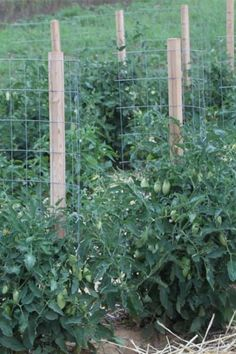 Looking for a low cost tomato support that actually works? You will love these inexpensive, easy to build homemade stake-a-cage tomato supports! Tomato Cage Diy, Tomato Trellis, Plant Trellis, Grape Trellis, Growing Tomatoes, Growing Vegetables, Tomato Stakes, Tomato Support, Plant Cages