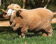 Merino Livestock