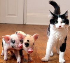 :O)  Teacup pigs and kitty