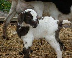 kiko goat - Google Search