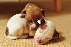 The 20 Most Adorable Pit Bull Puppy Pictures Ever