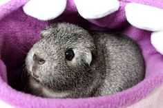 The Guinea Pig Daily: Wombat He looks like Charlie the Drunk Guinea Pig!