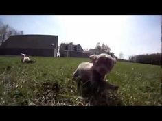 Chihuahua Puppies For Sale In Ohio | Teacup Chihuahua