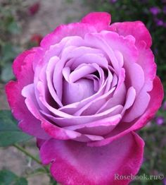 Rose 'Blue Lake' +919582148141 We have beautiful flowers & Gifts which are sending to your friends, relatives and family members. you can also send soft toys, delicious cakes, chocolates Send Flowers to Delhi & All Over World through Online Florist Delhi.