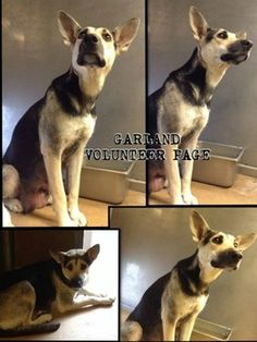This beautiful German shepherd was surrendered with her puppies. Now one puppy has been adopted and her life is in danger. Please help to find this dog a new future.