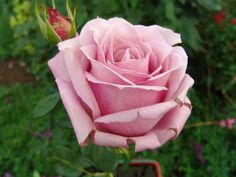 Madiba - Ludwigs Roses | The pointed buds are deep maroon-pink, revealing a touch of yellow at the base. As the beautifully shaped blooms develop, the colour changes slowly into a deep-lilac.