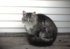 """""""Mark was found living in a motor home with 7 other cats. The conditions were deplorable and thankfully we were called to rescue them from their living conditions. We updated their shots and they are so happy to be living in clean conditions."""" See Mark's page for adoption information!"""