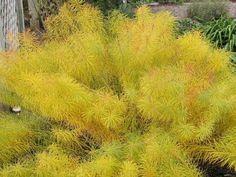 Amsonia hubrichtii / Threadleaf Bluestar photo perennialnursery.com
