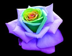 FAMOUS perfect Rainbow Rose by RAINBOWedROSES on deviantART