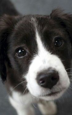 Oh what a sweet baby! I love Border Collies! Puppies And Kitties, Cute Puppies, Cute Dogs, Doggies, Animals And Pets, Baby Animals, Funny Animals, Cute Animals, Beautiful Dogs