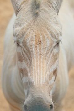 white zebra ohmygoodness how cool is this?!?  @KimmyAnn Brown did you know there were White Zebras?