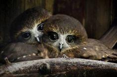 Owl Babies.