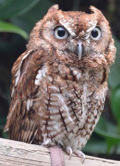 ˚Screech Owl