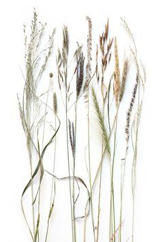prairie grass seed heads (mary jo hoffman)