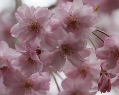 """Cherry blossoms- the blossoms of various species of cherries are amazing in how effectively they help stabilize the nervous system. The so-called ""weeping cherry"" has told me she is flowing, not weeping, and is most helpful for releasing habits of sadness, for the places within us, that when they get triggered, we automatically go into feelings of despair. She helps us move from habits of sadness into new experiences of joy."" - Robin Rose Bennett on herbs for depression"