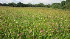 Wild Meadow Seed | Wyndrush Wild