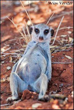 A Meerkat shot by Wim Vorster photography