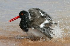 American Oystercatcher   Flickr - Photo Sharing!