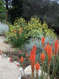 Full size picture of pride of madeira echium candicans for Low maintenance desert plants