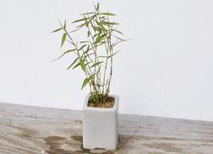 http://www.bonsaimyo.com/blog/?p=2063
