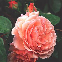 Compassion climbing rose