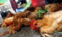 Ghana: Bird Flu under control - Veterinary Services Dr. Augustus Ayitey, Acting Director of the Veterinary Services Directorate, has assured Ghanaians that it is safe to consume poultry and poultry products despite the bird flu scare. He said the bird flu, which hit the country since May, is still under control.