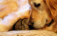 Golden Retriever is mother to a nest of abandoned bunnies. My Golden Retriever did the exact same thing! Golden Retrievers, Unlikely Animal Friends, Vida Animal, Tier Fotos, Baby Bunnies, Tiny Bunny, Cute Baby Animals, Small Animals, Wild Animals