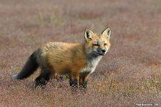 Red Fox (Vulpes vulpes) | Flickr - Photo Sharing!