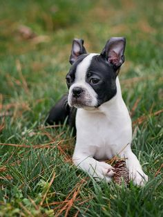 Boston Terrier <3 - My new pup (she's big now) and only 9 months but she looks like this young Boston.