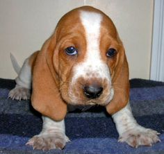 Basset hound puppy! I swear this is the only kind of dog I will ever get! I love them so much! (Okay, I love all hounds with droopy faces).