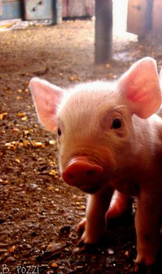 Because I'm apparently currently obsessed with piggies. Pigglet by B. Pozzi, via Flickr