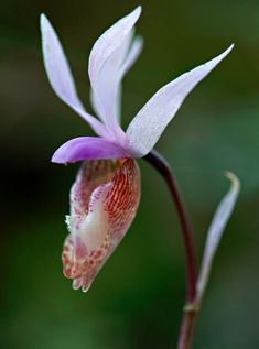 A Wild Calypso Orchid grows in heavily forested areas. The orchid is also know as the Fairy slipper or Venus's slipper. The species range of the calypso orchid is circumpolar. Found in the northern United States, Canada, Scandinavia, Russia & Japan. The species is considered threatened or endangered in several U.S. states & Sweden & Finland. It is virtually impossible to cultivate the calypso orchid due to a specific beneficial fungus associated with its roots