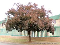 Combretum kraussii is a medium to large-sized tree that is fast-growing and reasonably  cold resistant. It is mostly evergreen, and turns red-purple in winter. Produces creamy-white flowers. Many different uses.
